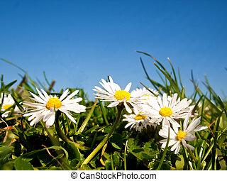 Daisy flowers against a blue sky