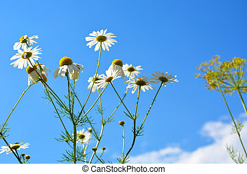 Daisy flowers against a blue sky with white clouds. Beautiful summer landscape. Chamomile flower of love.