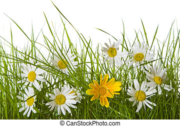Daisy Flowers Amongst Grass - White and yellow daisies on a...