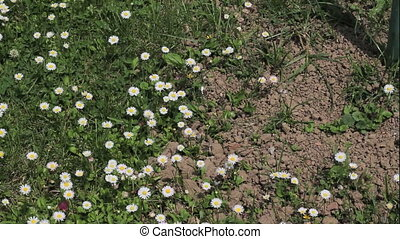 Daisy flowers - Meadow with white wild daisy flovers