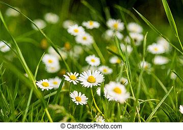 daisy flowers growing in a meadow