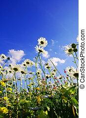 daisy flowers in summer