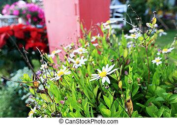 daisy flowers in the garden