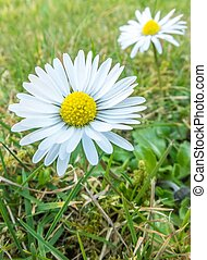 Daisy Flowers in the Grass