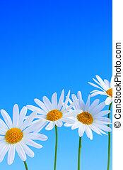 Daisy flowers on blue background - Daisy flowers in a row on...