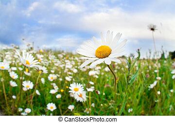 daisy flowers on summer meadow