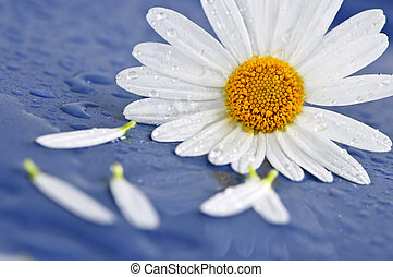 Daisy flowers with water drops