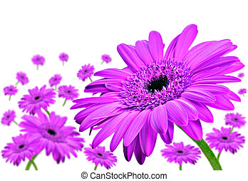 Daisy gerbera flowers on white