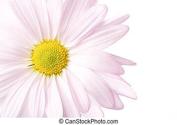 daisy high-key isolated