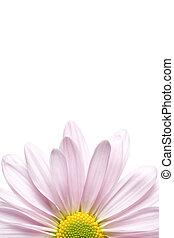 daisy chrysanthemum in a soft lavender, macro shot high key isolated on white