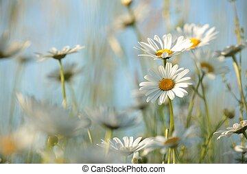 Daisy in a meadow