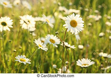 Daisy in a meadow rich in flowers at dawn