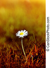 Daisy in Scorched Grass - A Spring daisy emerging from grass...