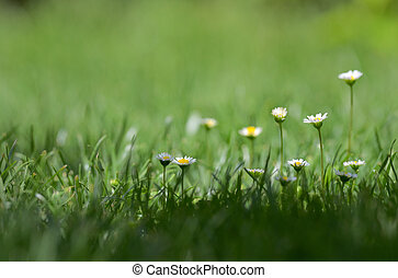 Daisy in spring on meadow