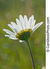 Daisy in the dew