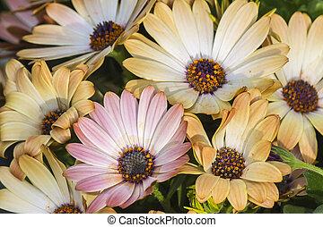 daisy in the garden