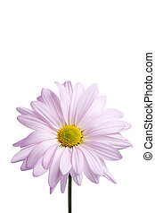daisy close-up isolated on white