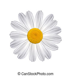 Daisy isolated on a white background