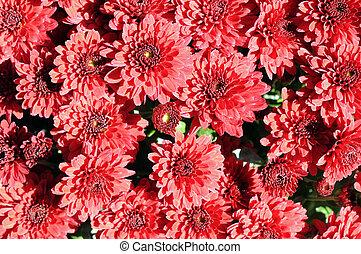 daisy mum flower for Spring time