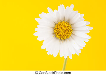 Daisy on a bright yellow background