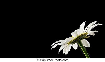 Daisy on black background