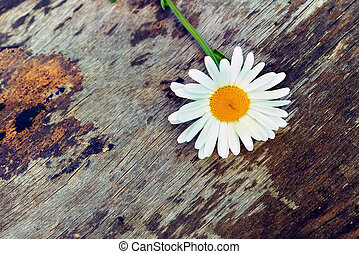 daisy on old wooden background