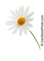 Daisy on white background - Daisy flower isolated on white...