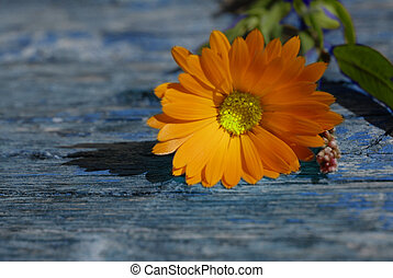 Daisy on wooden background with with copy-space