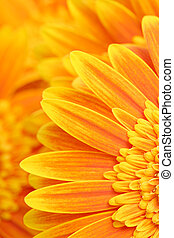 daisy petals background