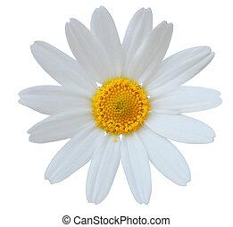 Single fresh daisy flower isolated on white