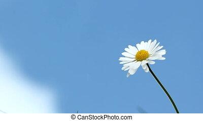 daisy and sky