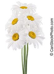 Studio Shot of White Colored Daisy Flowers Isolated on White Background. Large Depth of Field (DOF). Macro. National Flower of Latvia.