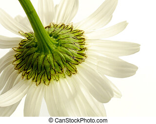 underside of a white daisy isolated on white