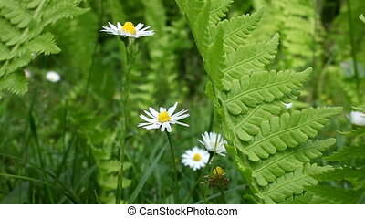 Daisy - video of wild flowers in the meadow