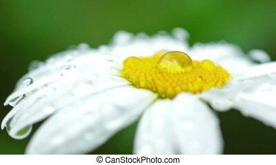 Daisy with rain drops