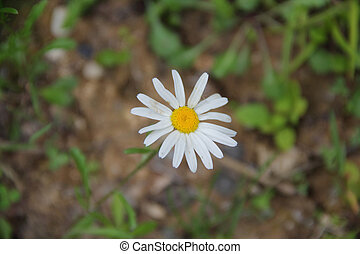 Daisy with white petals on a background of green grass