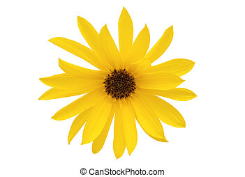 Daisy - Yellow daisy isolated on white  background