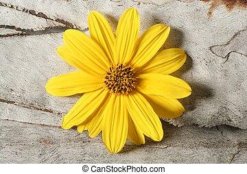 Daisy yellow vivid color flower, macro studio shot