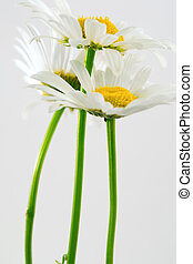Daisys in studio...