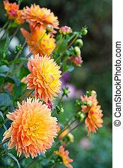 dalia, arancia, e, fiori gialli, in, giardino, piena...