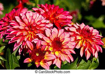 dalia, bicolor, jardín, rosa florece, crecer