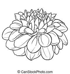 dalia, fiore bianco, nero