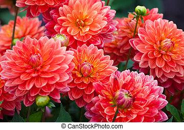 dalia, fiore rosso, in, giardino, piena fioritura