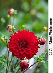 dalia, fiore rosso, in, giardino, piena fioritura, closeup