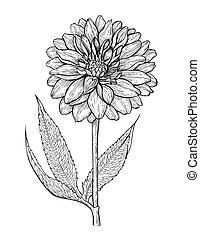 dalia, mano, illustrazione, disegnato