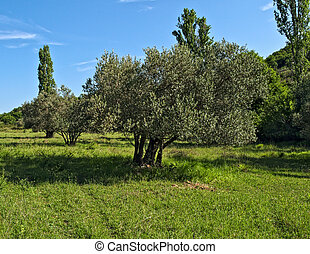 dalmatia, 牧草地, 古い, 大きい, 木, オリーブ