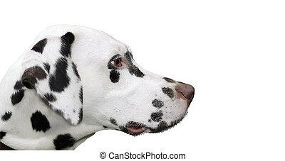 A photo of a dalmatian dog isolated