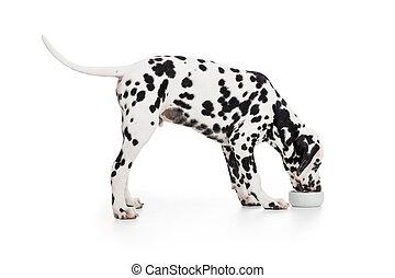 dalmatian, cão, vista lateral, comer, de, tigela, isolado,...