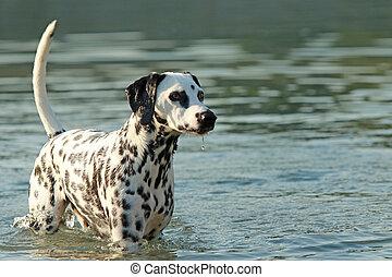 Dalmatian dog bathing in a lake