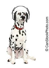 Dalmatian dog enjoy music